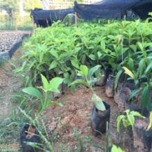 园艺长年直供抗寒抗风性强植物大花芦莉存活率高