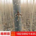 杨树苗图片