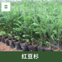 江西红豆杉种植基地、江西红豆杉批发、江西红豆杉价格【九江市鑫林园林】