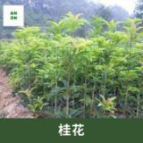 宜春桂花种植基地、批发、价格、价钱【九江市鑫林园林】
