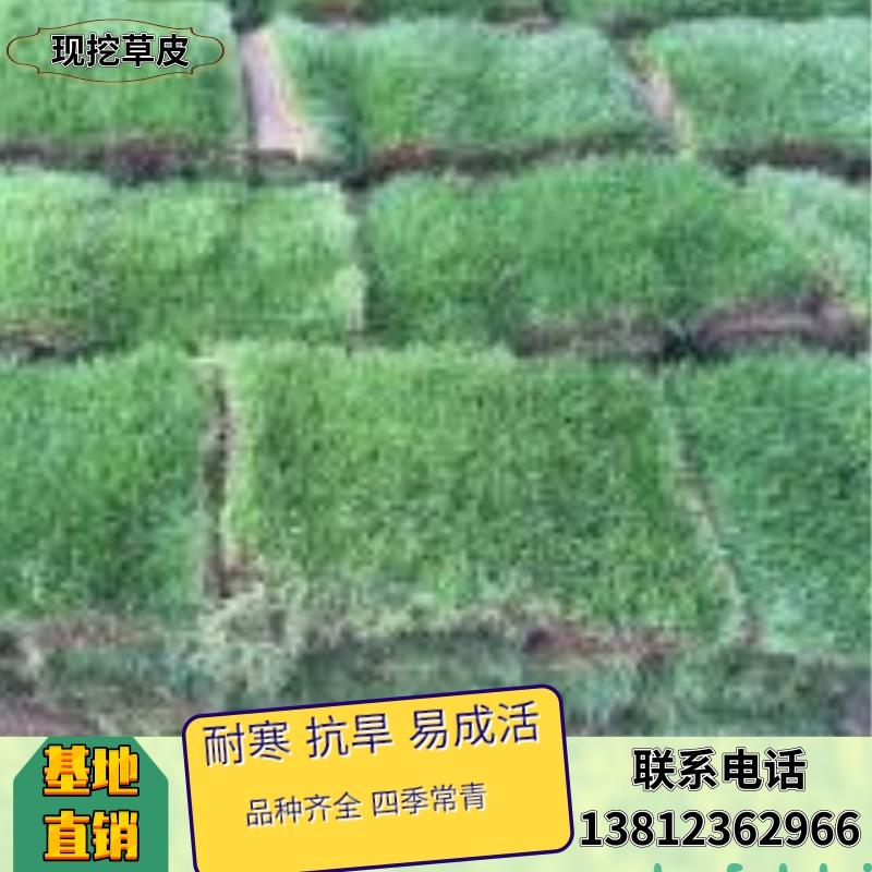 混播黑麦草草坪销售