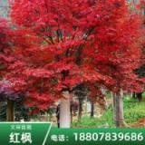 【行业小知识】重庆10公分美国红枫 10公分美国红枫基地批发-全州县文祥苗圃